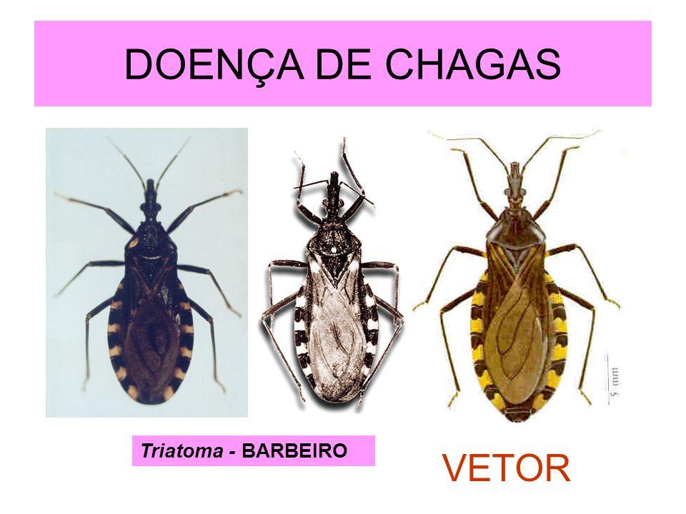 DOENÇA DE CHAGAS Triatoma - BARBEIRO VETOR