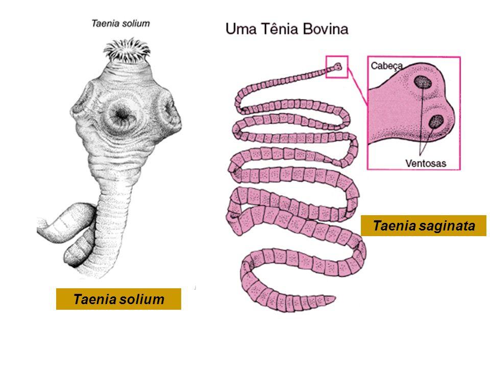 Taenia saginata Taenia solium