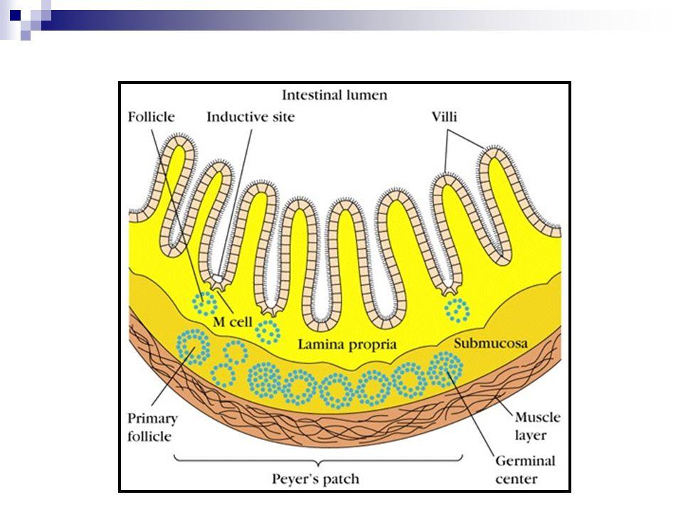 Essa riqueza de componente linfóide fez com que, apesar de o transplante intestinal ter sido um dos primeiros a ser realizados, ele fosse abandonado por muito tempo, somente após um maior desenvolvimento de drogas imunossupressoras.