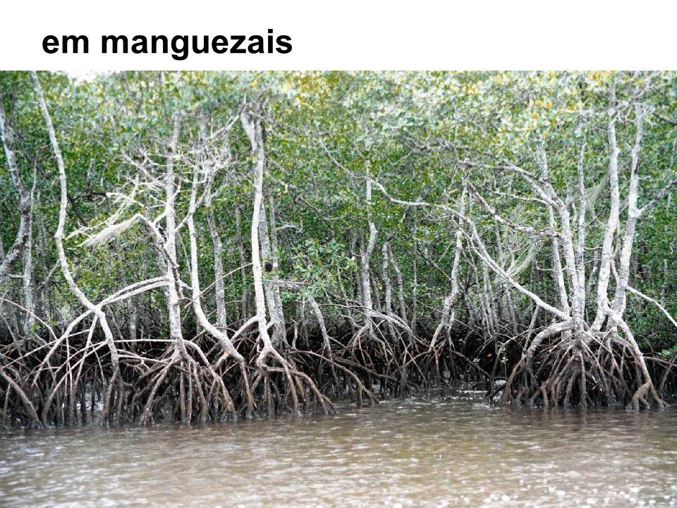 em manguezais