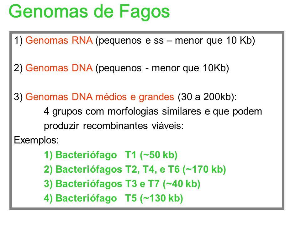 Genomas de Fagos 1) Genomas RNA (pequenos e ss – menor que 10 Kb)