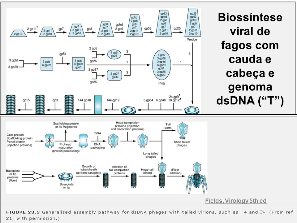 Biossíntese viral de fagos com cauda e cabeça e genoma dsDNA ( T )