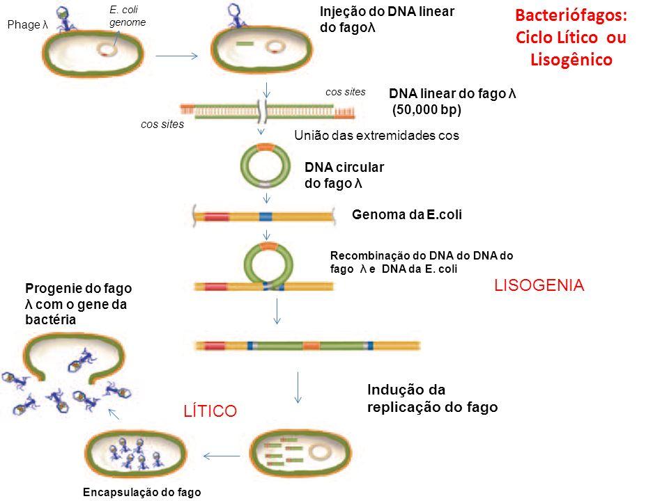 Bacteriófagos: Ciclo Lítico ou Lisogênico