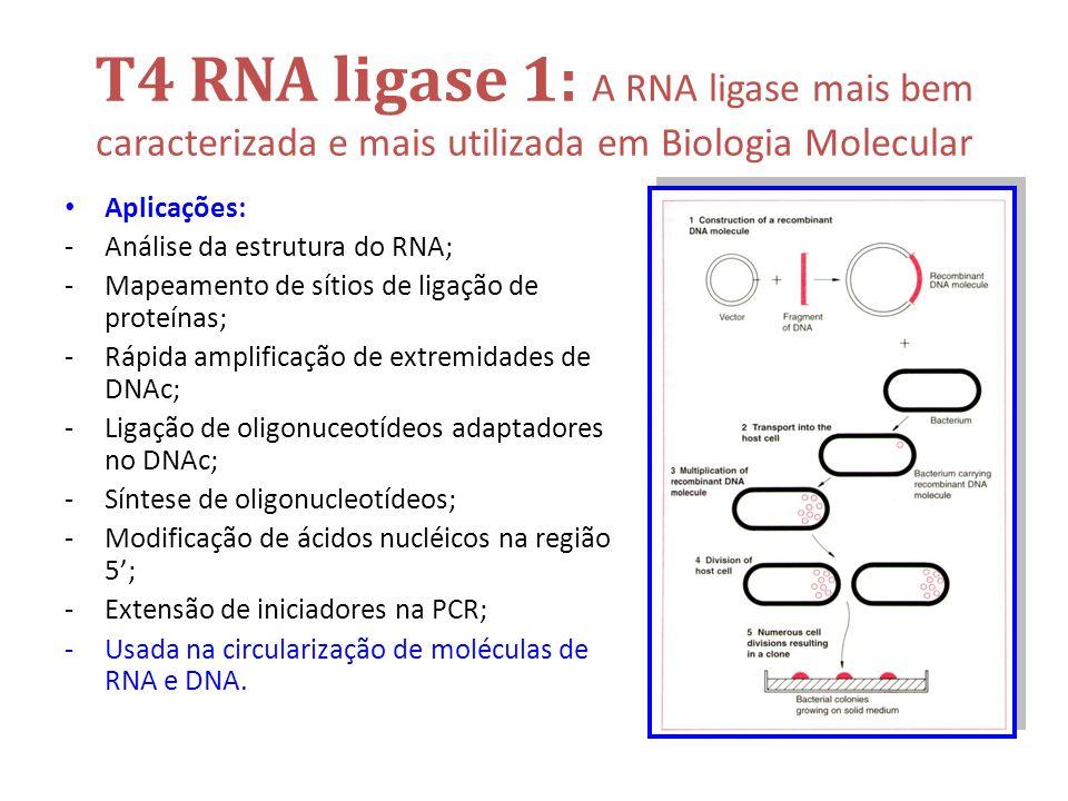 T4 RNA ligase 1: A RNA ligase mais bem caracterizada e mais utilizada em Biologia Molecular