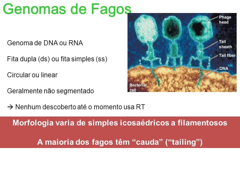 Genomas de Fagos Genoma de DNA ou RNA. Fita dupla (ds) ou fita simples (ss) Circular ou linear. Geralmente não segmentado.