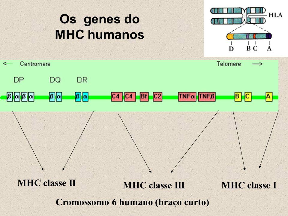 Os genes do MHC humanos MHC classe II MHC classe III MHC classe I