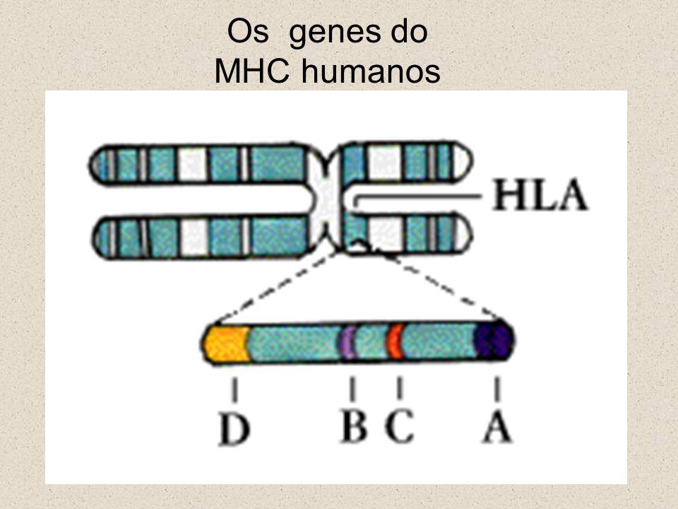 Os genes do MHC humanos