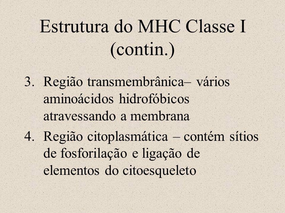 Estrutura do MHC Classe I (contin.)