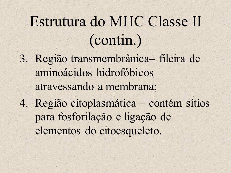 Estrutura do MHC Classe II (contin.)