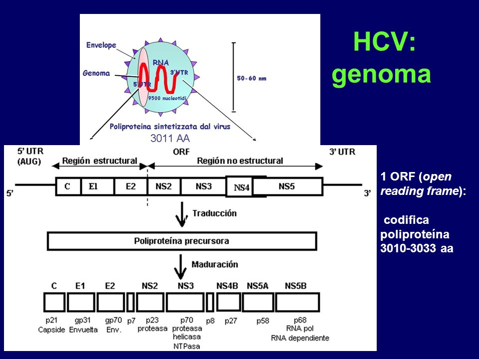 HCV: genoma 1 ORF (open reading frame):