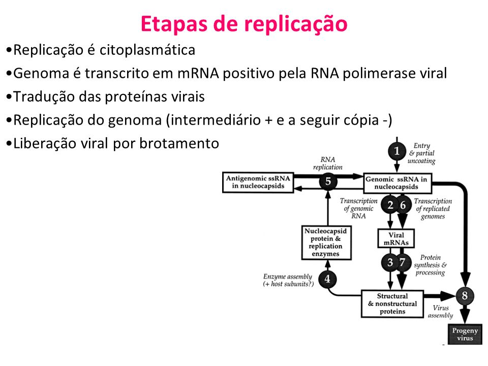 Etapas de replicação Replicação é citoplasmática