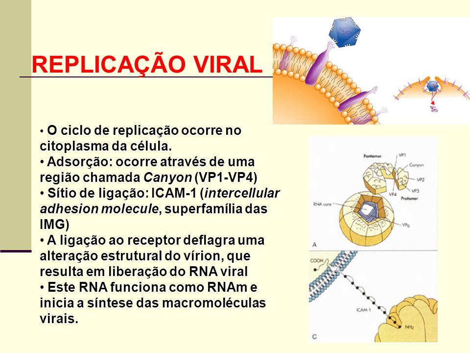 REPLICAÇÃO VIRAL O ciclo de replicação ocorre no citoplasma da célula. Adsorção: ocorre através de uma região chamada Canyon (VP1-VP4)