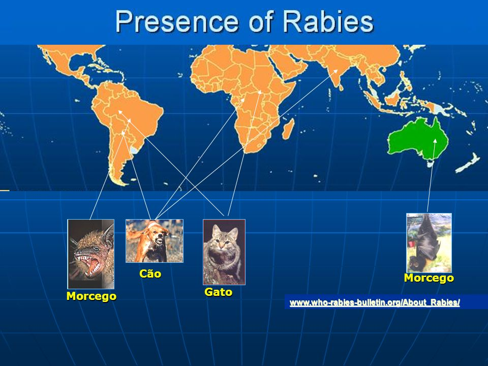 Cão Morcego Gato Morcego www.who-rabies-bulletin.org/About_Rabies/