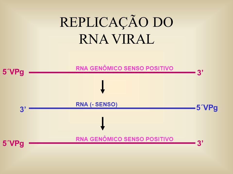 REPLICAÇÃO DO RNA VIRAL 5´VPg 3' 5´VPg 3' 5´VPg 3'