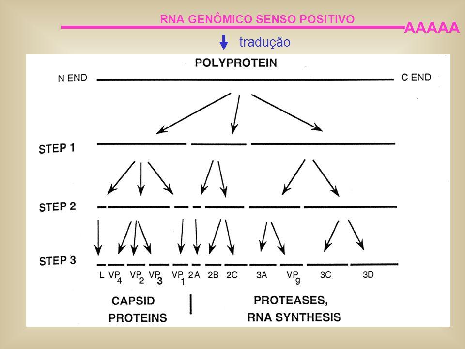 RNA GENÔMICO SENSO POSITIVO