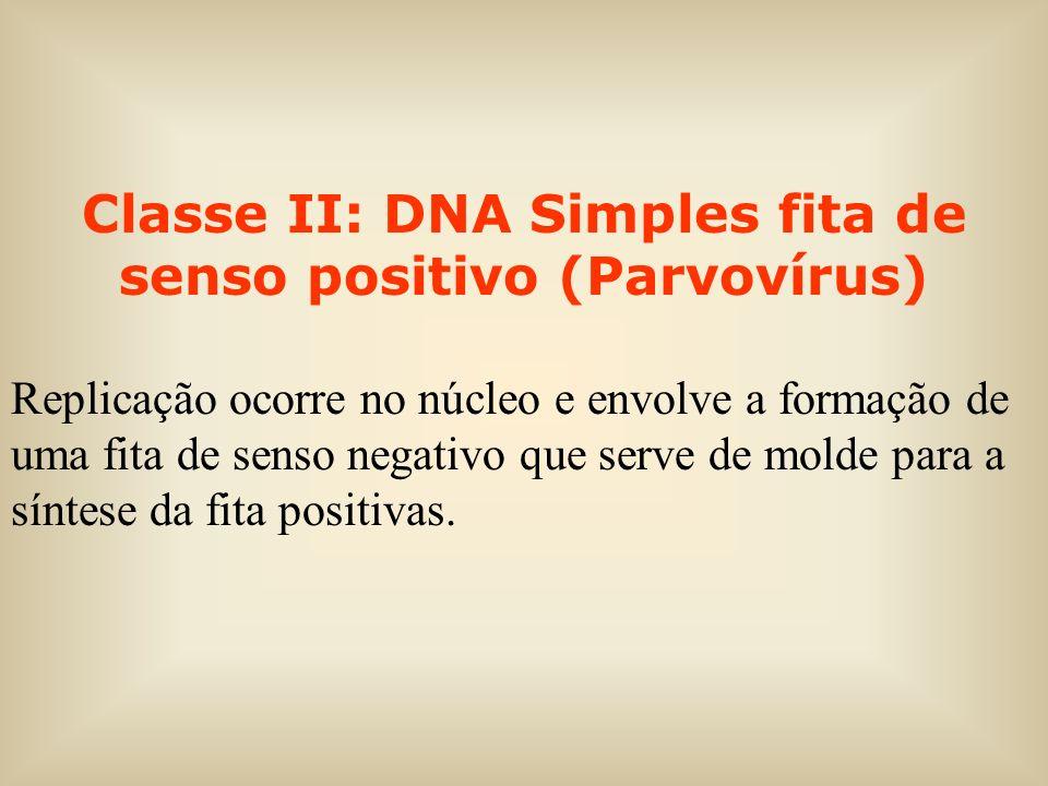Classe II: DNA Simples fita de senso positivo (Parvovírus)