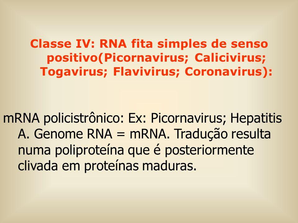 Classe IV: RNA fita simples de senso positivo(Picornavirus; Calicivirus; Togavirus; Flavivirus; Coronavirus):