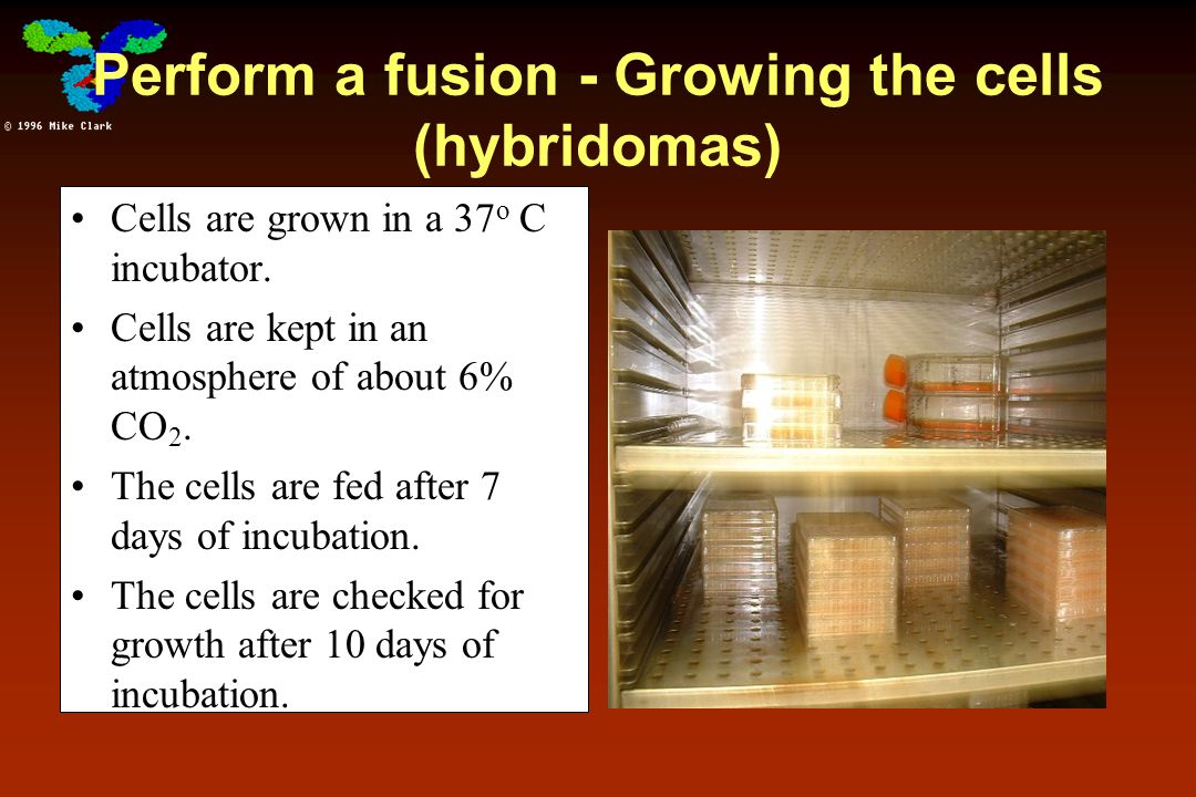 Perform a fusion - Growing the cells (hybridomas)