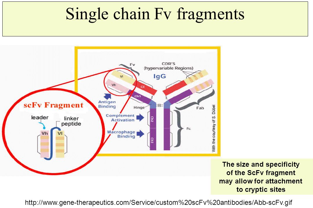 Single chain Fv fragments