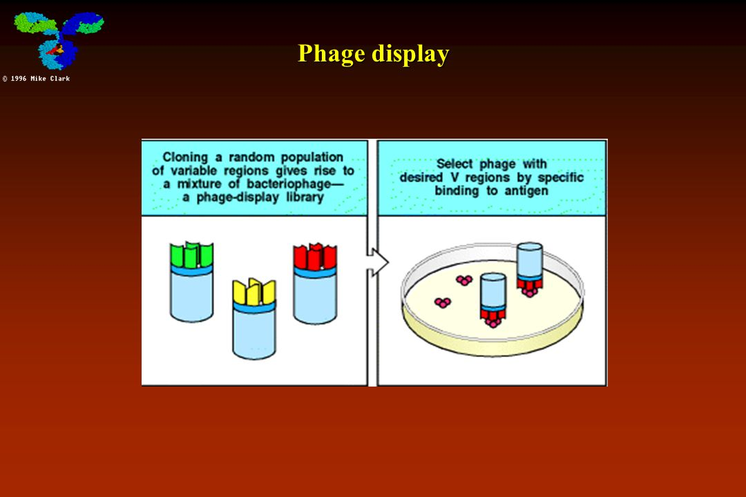 phage display Phage display derived antibodies in clinical development for this review, we collected data on phage display-derived therapeutic antibodies from different sources.