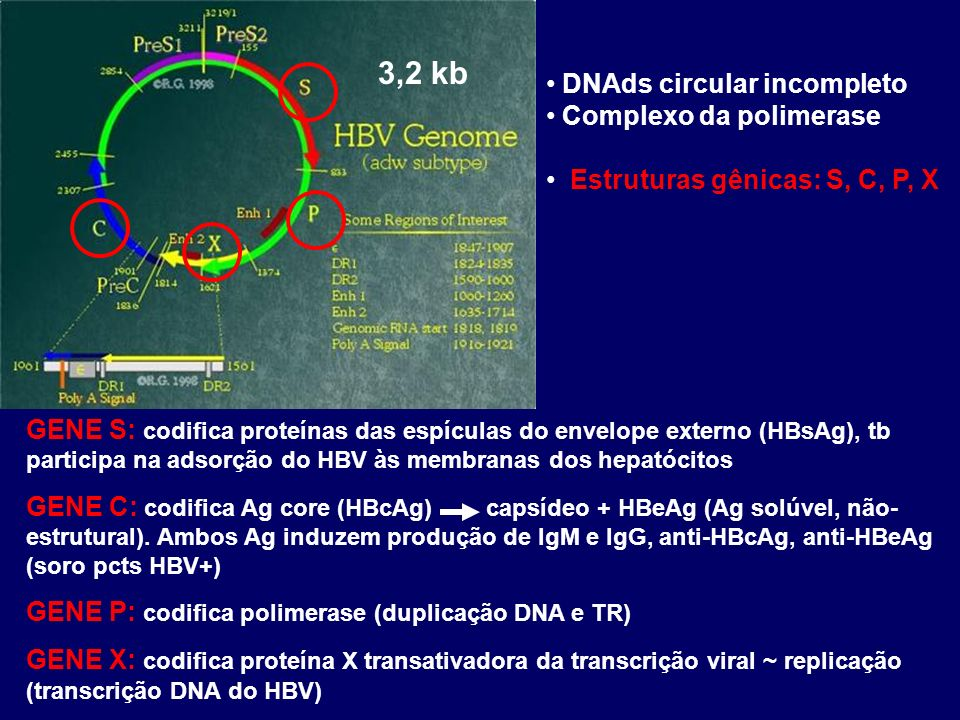 3,2 kb DNAds circular incompleto Complexo da polimerase