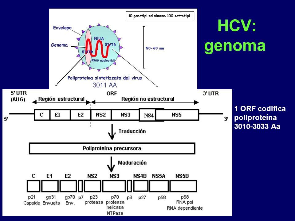 HCV: genoma 1 ORF codifica poliproteína 3010-3033 Aa