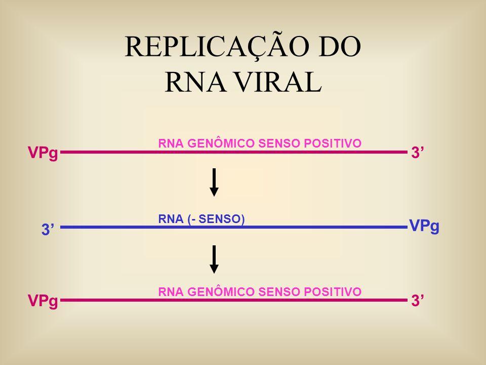 REPLICAÇÃO DO RNA VIRAL VPg 3' VPg 3' VPg 3'
