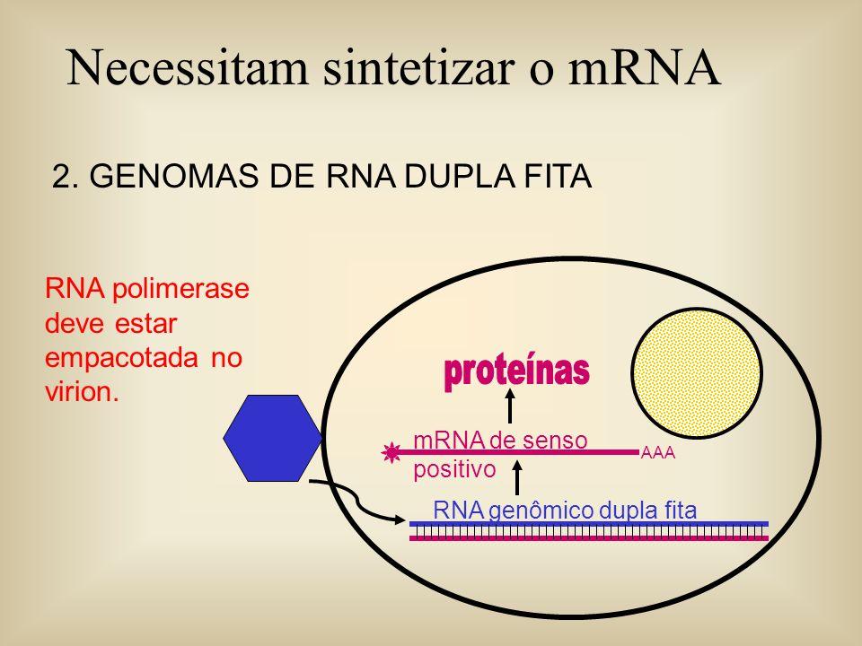 Necessitam sintetizar o mRNA