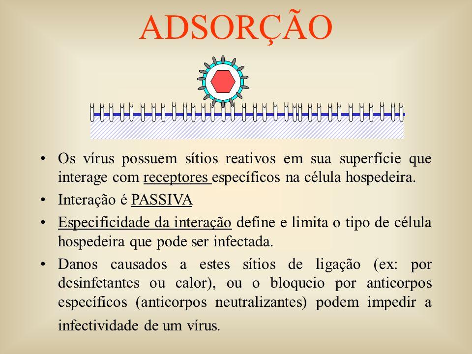 ADSORÇÃO Os vírus possuem sítios reativos em sua superfície que interage com receptores específicos na célula hospedeira.