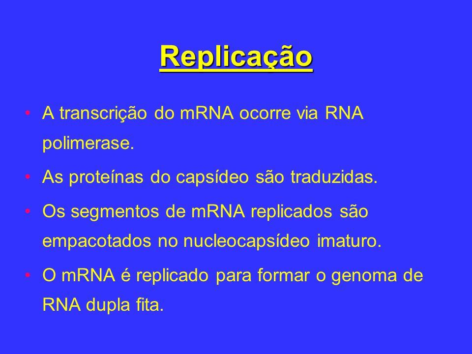Replicação A transcrição do mRNA ocorre via RNA polimerase.