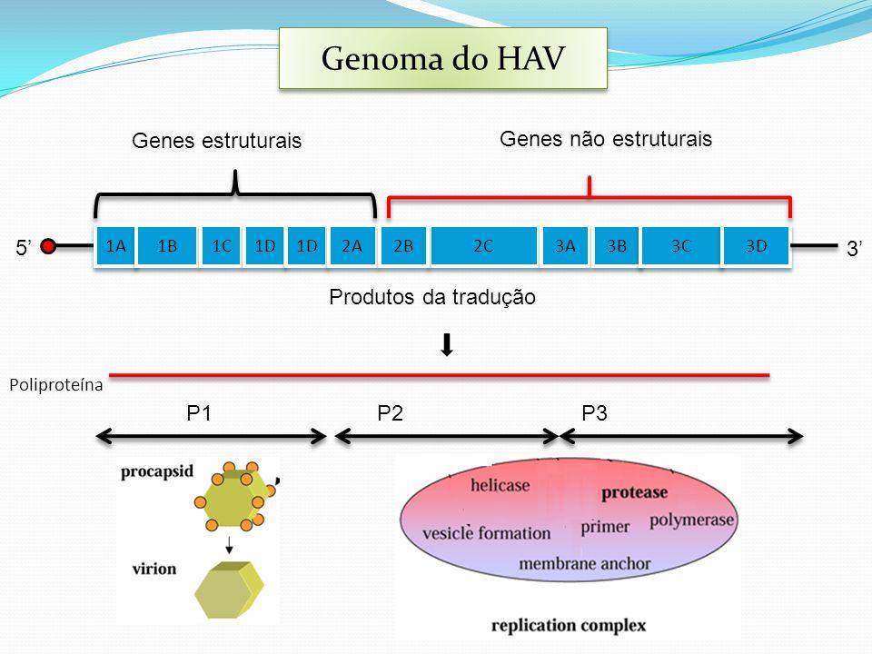 Genoma do HAV 3' Genes estruturais Genes não estruturais