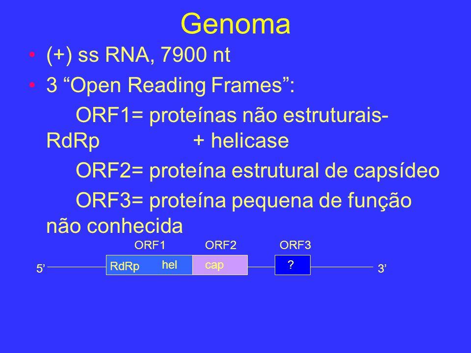 Genoma (+) ss RNA, 7900 nt 3 Open Reading Frames :