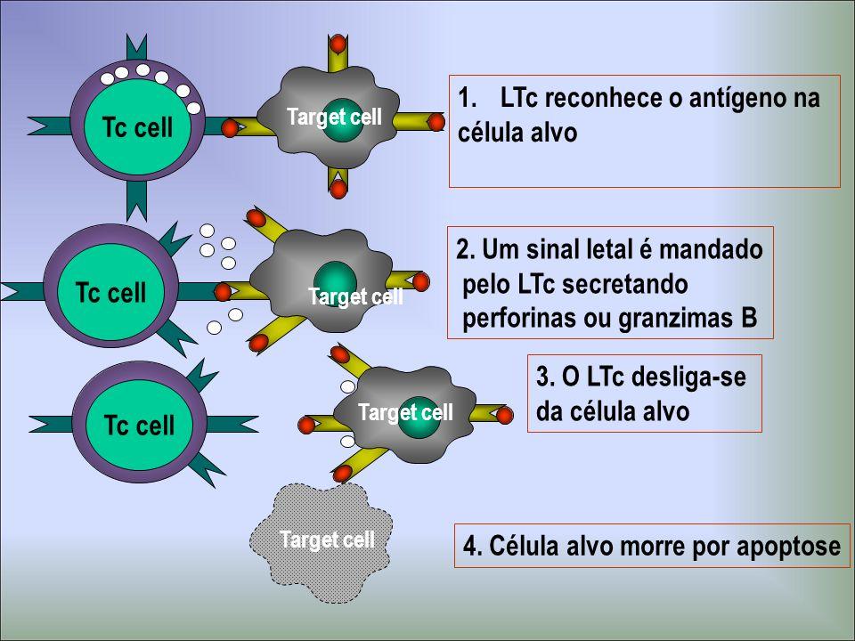 LTc reconhece o antígeno na célula alvo