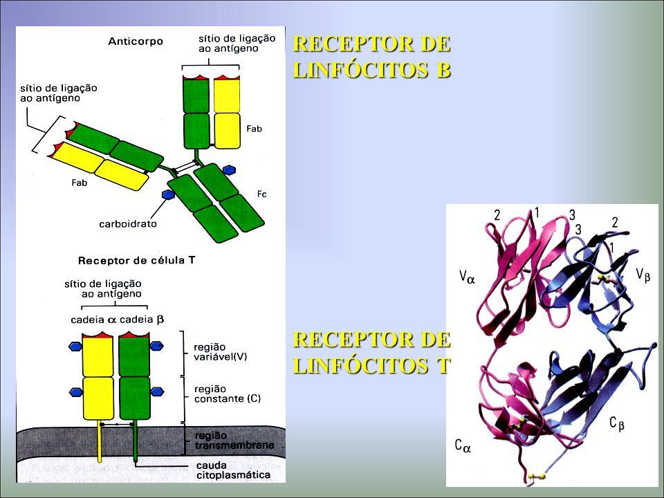 RECEPTOR DE LINFÓCITOS B