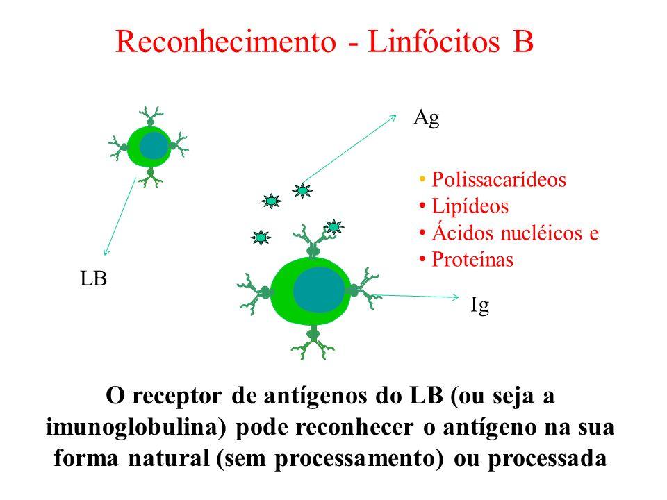Reconhecimento - Linfócitos B