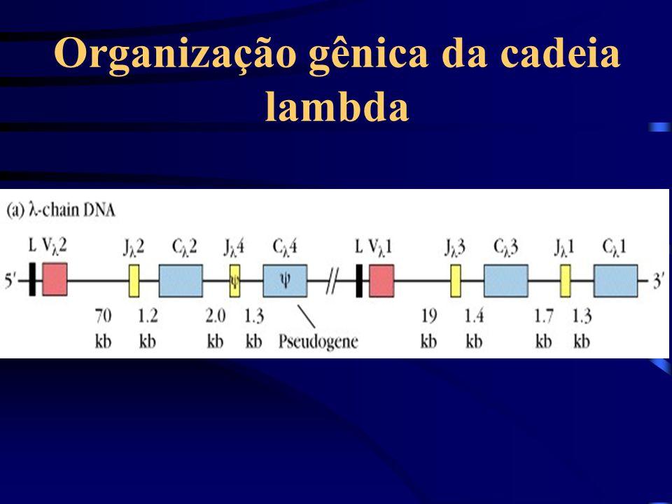 Organização gênica da cadeia lambda