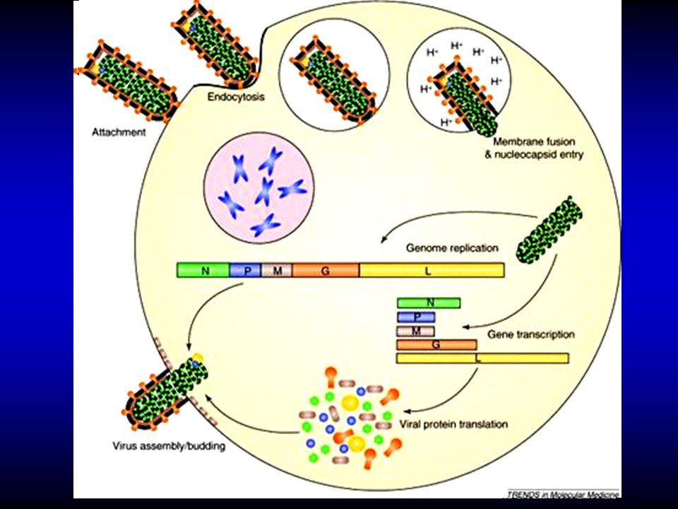 - acetylcholine receptor