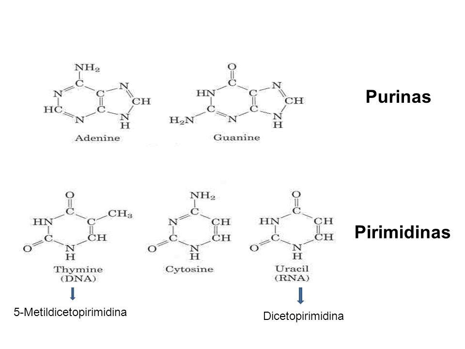 Purinas Pirimidinas 5-Metildicetopirimidina Dicetopirimidina