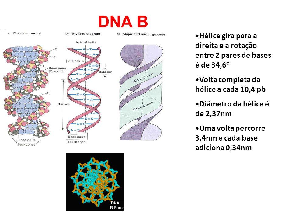 DNA B Hélice gira para a direita e a rotação entre 2 pares de bases é de 34,6° Volta completa da hélice a cada 10,4 pb.
