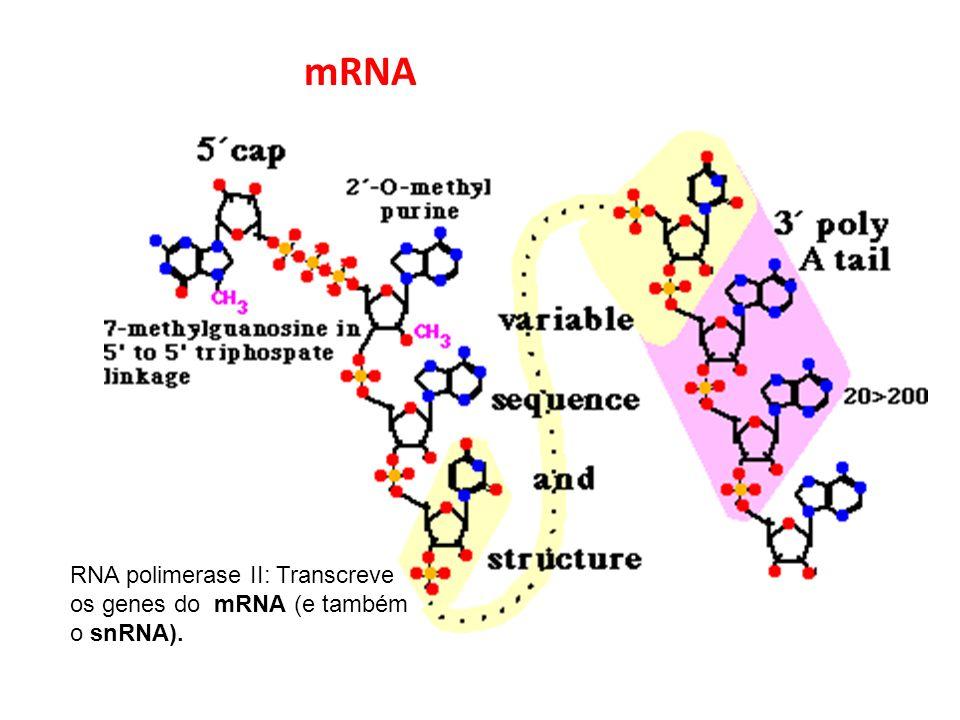 mRNA RNA polimerase II: Transcreve os genes do mRNA (e também o snRNA).