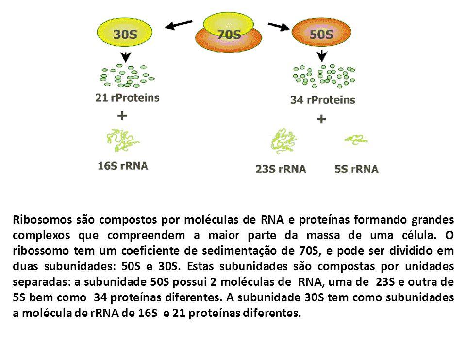 Ribosomos são compostos por moléculas de RNA e proteínas formando grandes complexos que compreendem a maior parte da massa de uma célula.