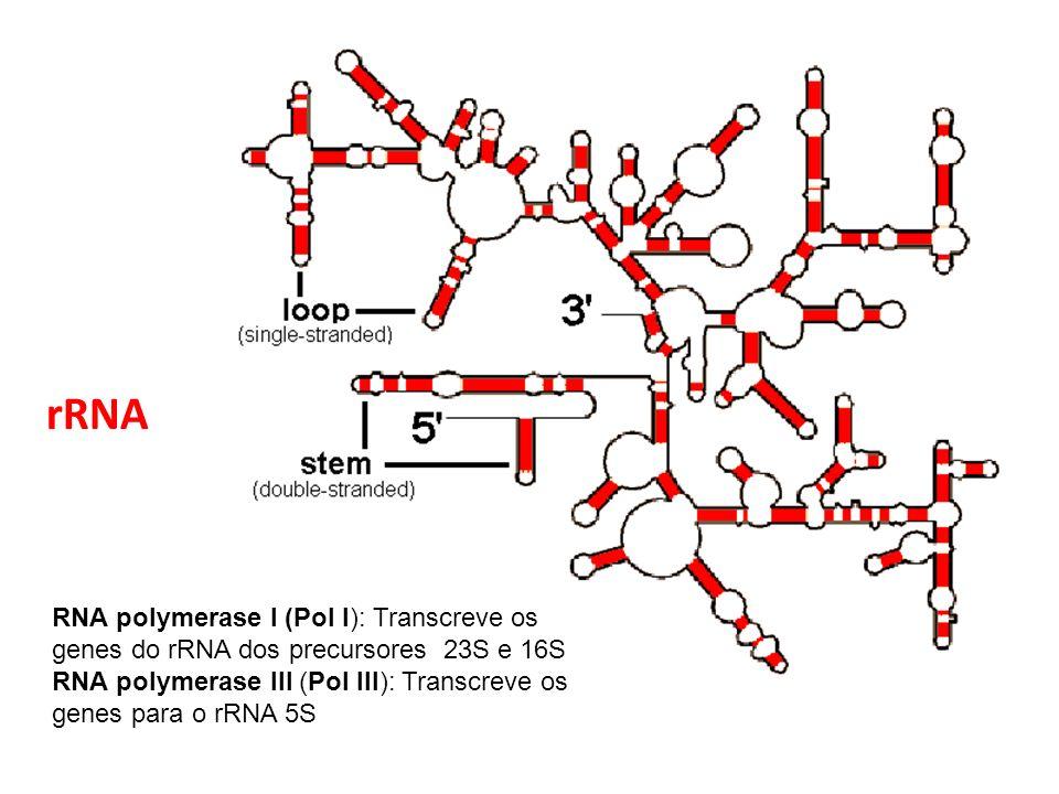 rRNA RNA polymerase I (Pol I): Transcreve os genes do rRNA dos precursores 23S e 16S.