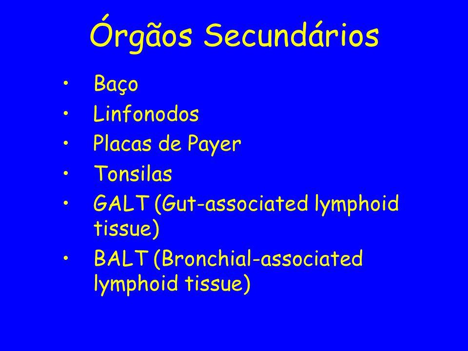 Órgãos Secundários Baço Linfonodos Placas de Payer Tonsilas