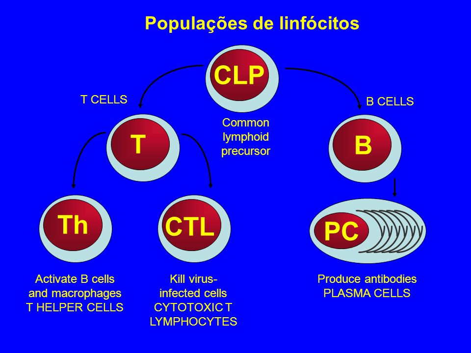 CLP T B Th CTL PC Populações de linfócitos Common lymphoid precursor