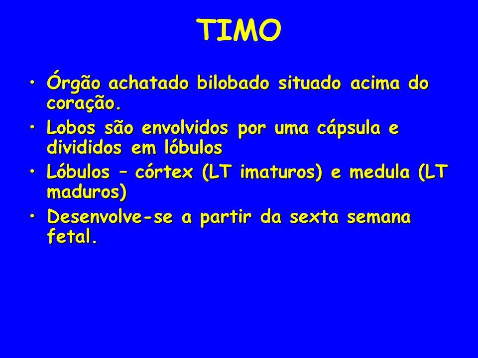 TIMO Órgão achatado bilobado situado acima do coração.