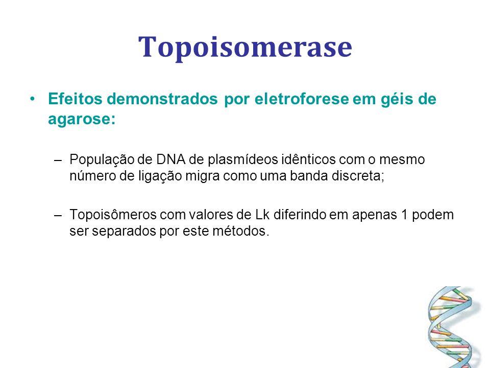 Topoisomerase Efeitos demonstrados por eletroforese em géis de agarose: