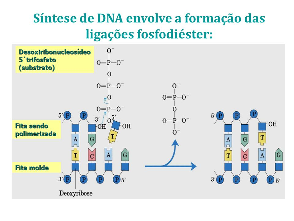 Síntese de DNA envolve a formação das ligações fosfodiéster: