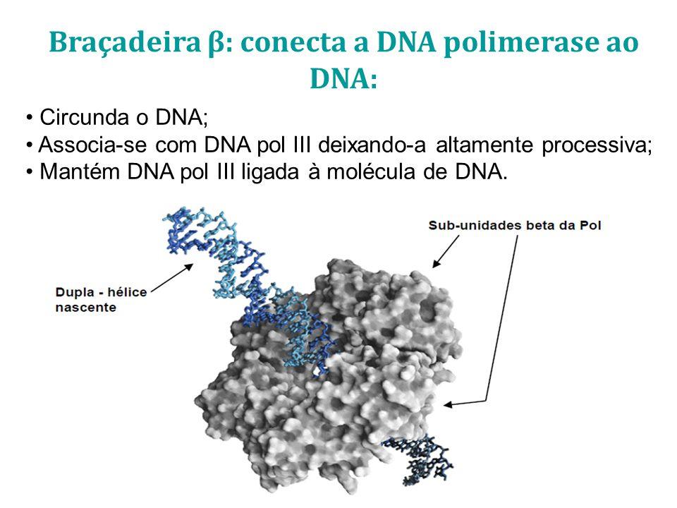 Braçadeira β: conecta a DNA polimerase ao DNA: