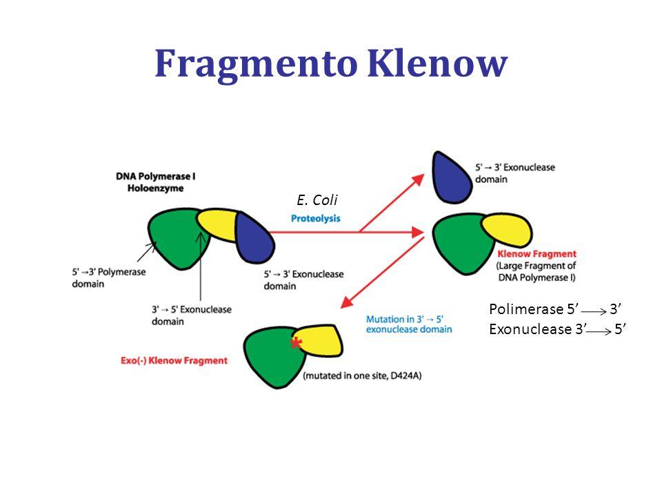 Fragmento Klenow E. Coli Polimerase 5' 3' Exonuclease 3' 5'