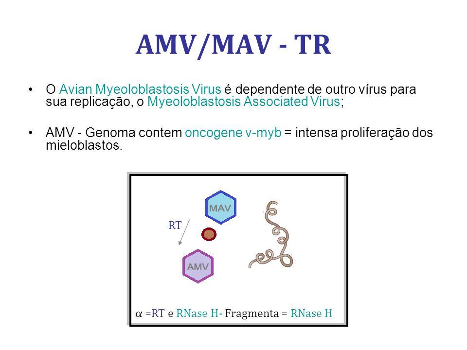 AMV/MAV - TR O Avian Myeoloblastosis Virus é dependente de outro vírus para sua replicação, o Myeoloblastosis Associated Virus;